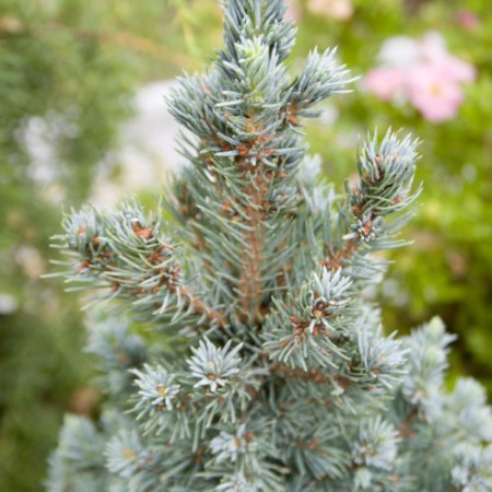 Picea glauca 'Sander´s Blue'