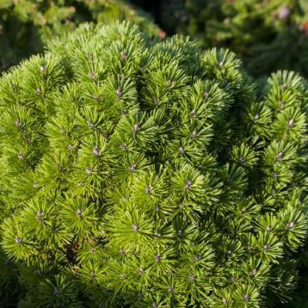 Pinus mugo 'Allgäu'