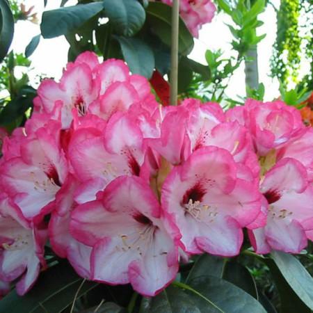 Rhododendron Hybride 'Bordüre'