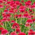 Echinacea ' Secret 'Passion'