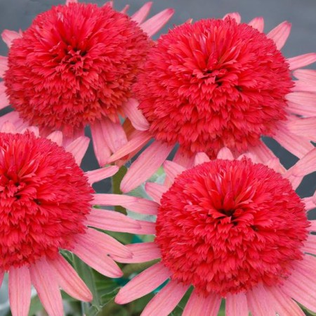 Echinacea ' Secret 'Passion'