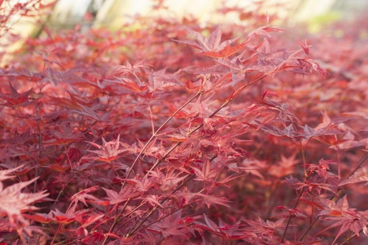 acer palmatum 39 beni maiko 39 f cherahorn pink rot. Black Bedroom Furniture Sets. Home Design Ideas