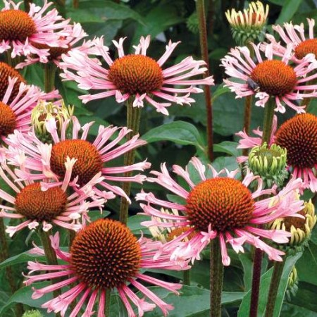 Echinacea 'Quills and Thrills'