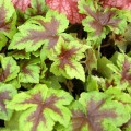 Tiarella ' Neon Lights'