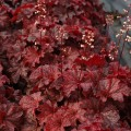 Heuchera 'Cajun Fire'
