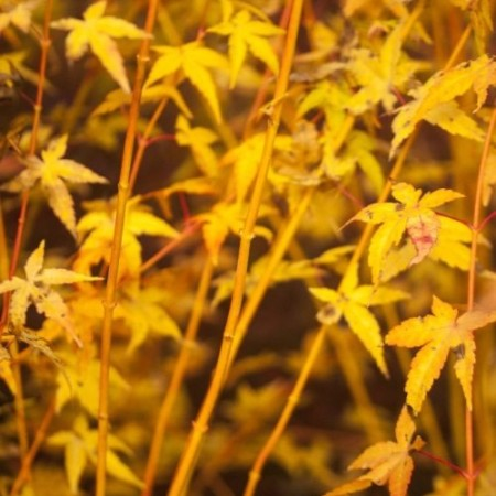 Acer palmatum 'Bi hoo'