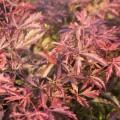 Acer palmatum 'Earthfire'