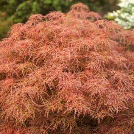 Acer palmatum 'Red Baby Lace'