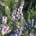 Calluna vulgaris 'Radnor'