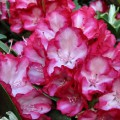 Rhododendron Hybride 'Ann Lindsay'