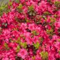 Rhododendron obtusum 'Canzonetta'
