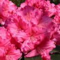 Rhododendron Hybride 'Caruso'