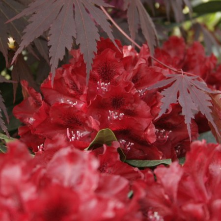 Rhododendron Hybride 'Cherry Kiss'