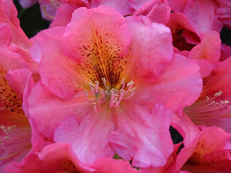 rhododendron hybride 39 dolcemente 39 baumschule nielsen. Black Bedroom Furniture Sets. Home Design Ideas