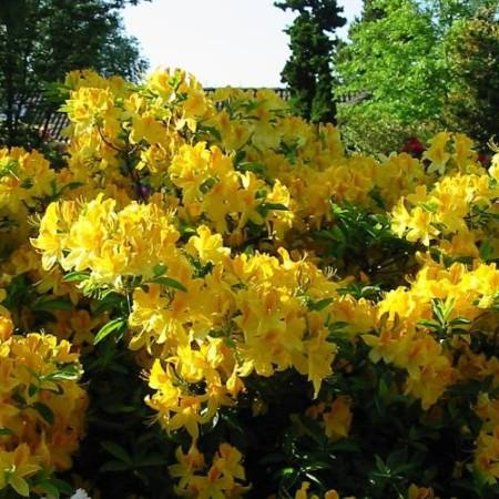 rhododendron luteum 39 goldtopas 39 gartenazalee baumschule. Black Bedroom Furniture Sets. Home Design Ideas