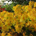 Rhododendron luteum 'Goldtopas'