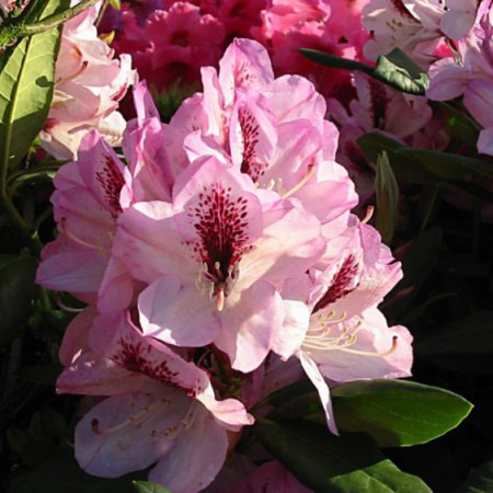 Rhododendron Hybr. 'Herbstfreude'