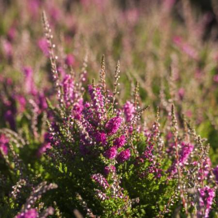 Calluna vulgaris 'Liebestraum'