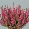 Calluna vulgaris 'Liliane'