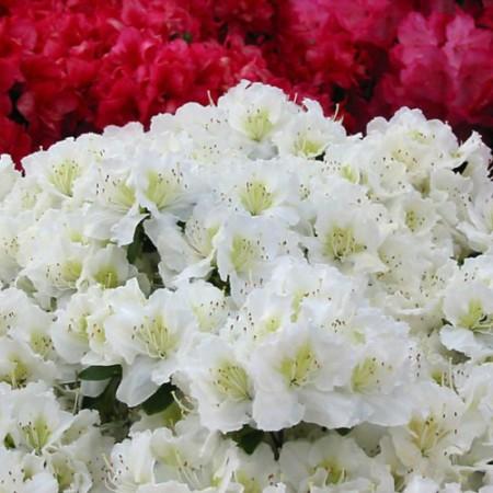 Rhododendron obtusum 'Maischnee' ®