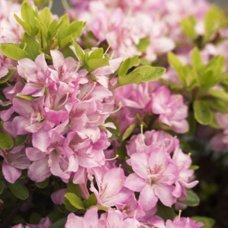 Rhododendron obtusum 'Neglige'