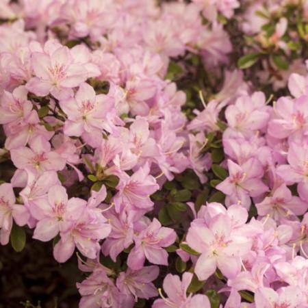 Rhododendron obtusum 'Neglige' ®