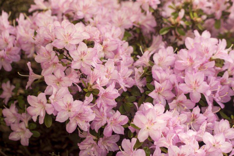 rhododendron obtusum 39 neglige 39 azalee baumschule nielsen. Black Bedroom Furniture Sets. Home Design Ideas