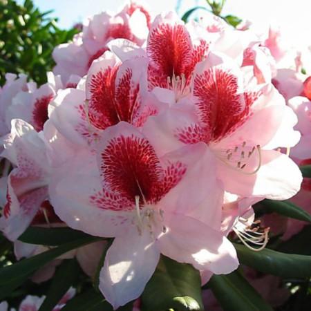 Rhododendron Hybride 'Belami'