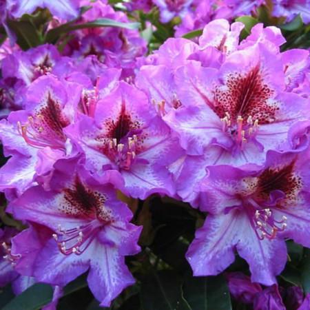 Rhododendron Hybr. 'Sternschnuppe'