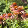 Echinacea 'Orange Spider'