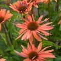 Echinacea 'Pacific Summer'