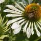 Echinacea 'White Spider'