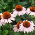 Echinacea Hope'