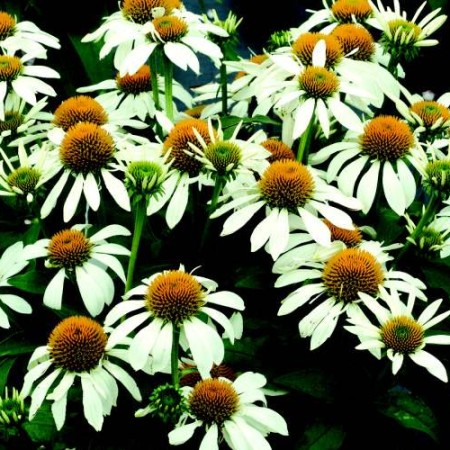 Echinacea' Little Angel'