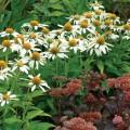 Echinacea' Little Angel'