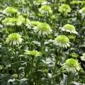 Echinacea 'Honeydew'