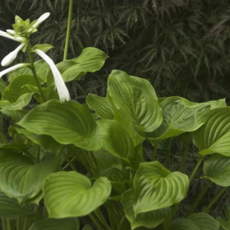 Hosta plantaguinea 'Grandiflora'