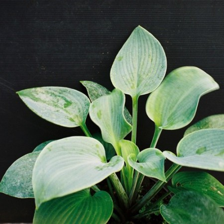 Hosta 'Tomoko'