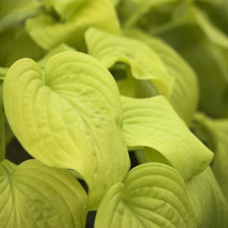 Hosta 'Tortilla Chip'