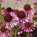 Echinacea 'Pink Spider'