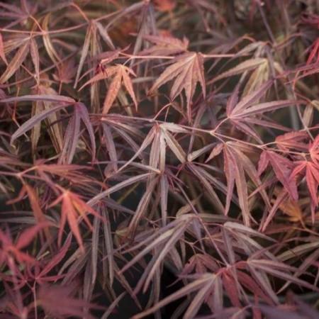 Acer palmatum 'Enkan'