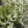 Calluna vulgaris 'Kinlochruel'