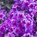 Rhododendron obtusum 'Peppina'