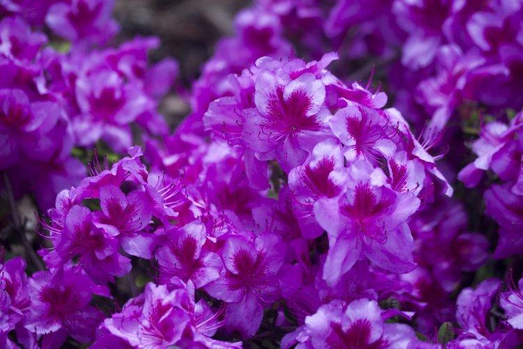 rhododendron obtusum 39 peppina 39 azalee baumschule nielsen. Black Bedroom Furniture Sets. Home Design Ideas