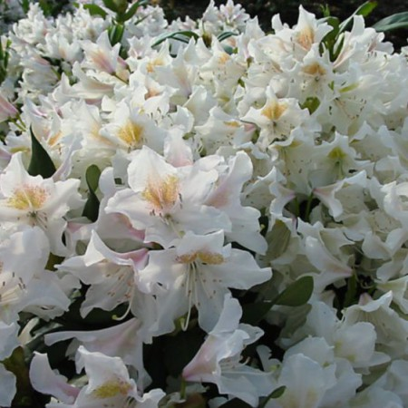 Rhododendron Hybride 'Cunningham´s White'