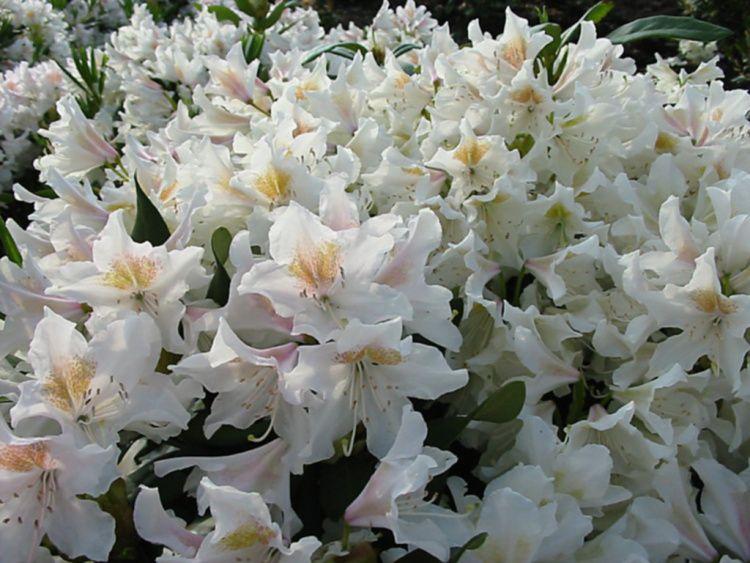 rhododendron hybride cunninghams white baumschule nielsen. Black Bedroom Furniture Sets. Home Design Ideas