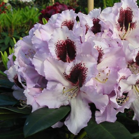 Rhododendron Hybr. 'Pinguin'