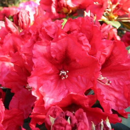 Rhododendron Hybr. 'Rabatz'