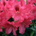 Rhododendron repens 'Corinna'
