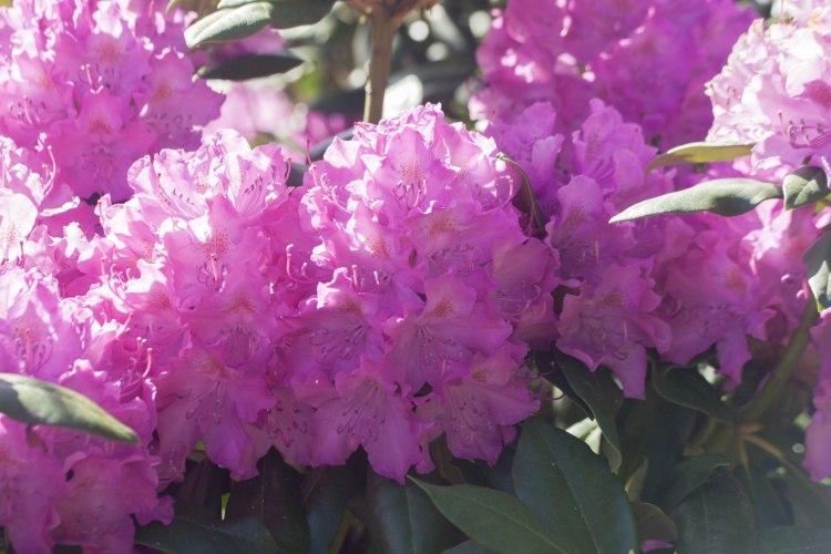 rhododendron hybride 39 roseum elegans 39 baumschule nielsen. Black Bedroom Furniture Sets. Home Design Ideas